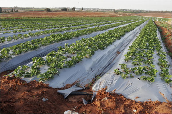 Drip Irrigation May Not Save Water Analysis Finds Melange