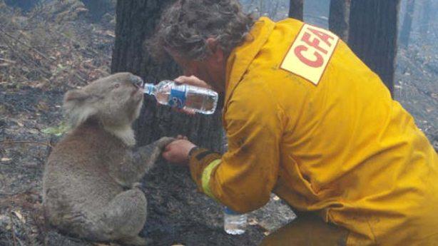 bushfire-koala