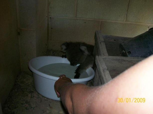 koala-maude-2