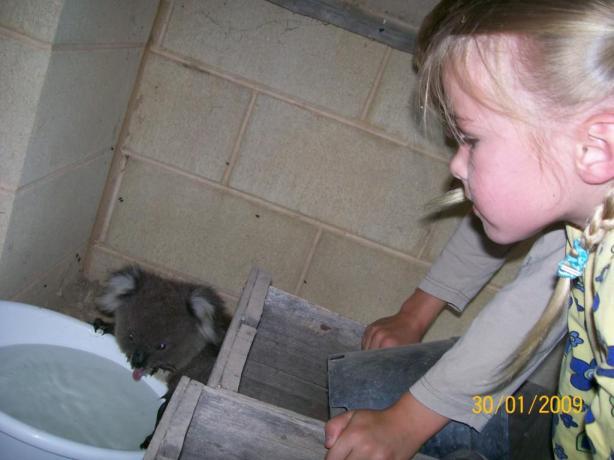 koala-maude-3
