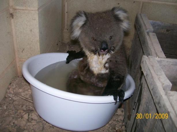 koala-maude-41