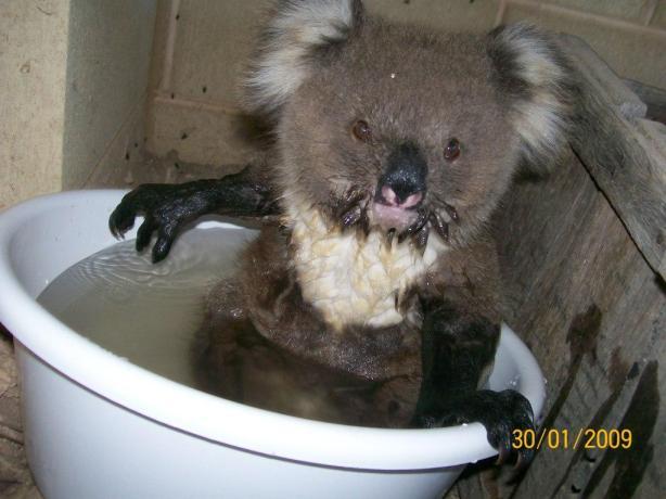koala-maude-5