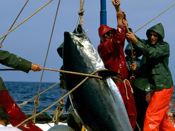 fishermen-catch-blue-fin-tuna