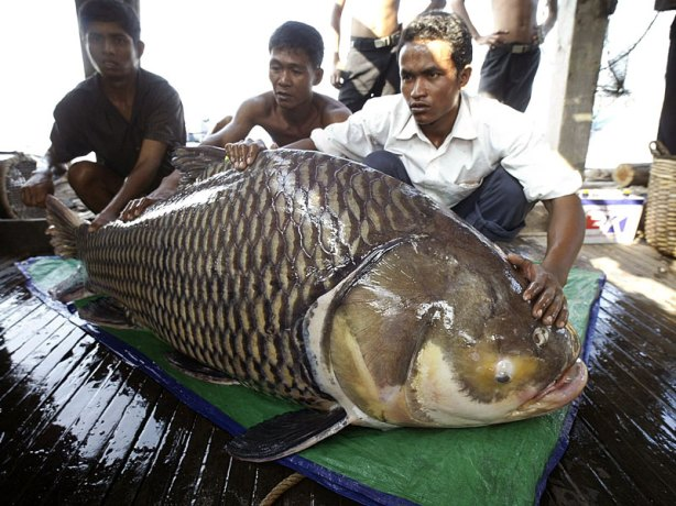 giant-asian-carp1