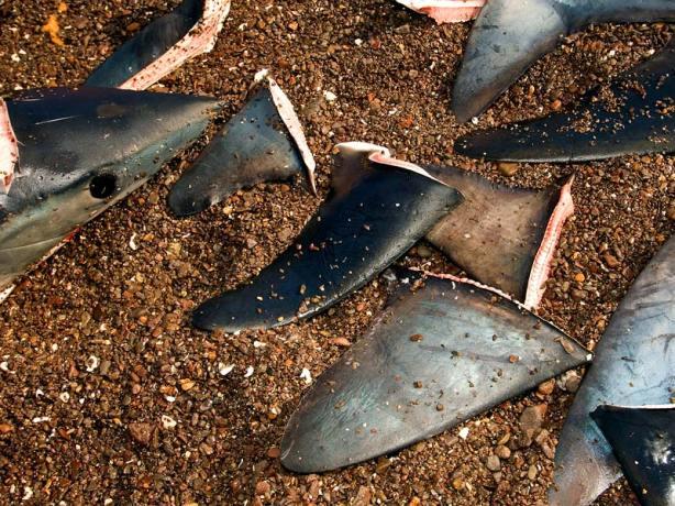 thresher-shark-fins