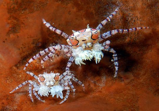 boxer-crabs